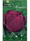 Тюльпан Антрацит (Tulipa Antraciet)