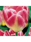 Тюльпан Апстар (Tulipa Upstar)