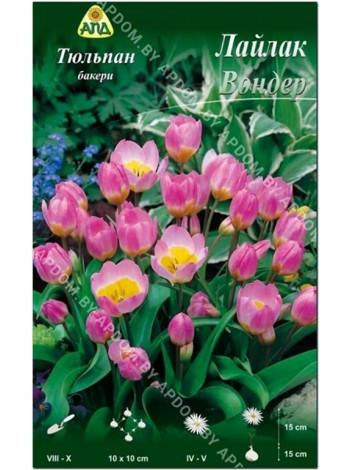 Тюльпан Лайлак Вондер (Tulipa bakeri Lilac Wonder)