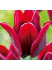 Тюльпан Ластинг Лав (Tulipa Lasting Love)
