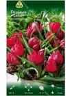 Тюльпан Лиллипут (Tulipa humilis Lilliput)