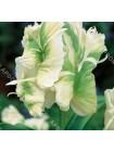 Тюльпан Супер Перрот (Tulipa Super Parrot)