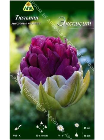 Тюльпан Экскисит (Tulipa Exquisit)