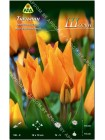 Тюльпан Шогун (Tulipa praestans Shogun)