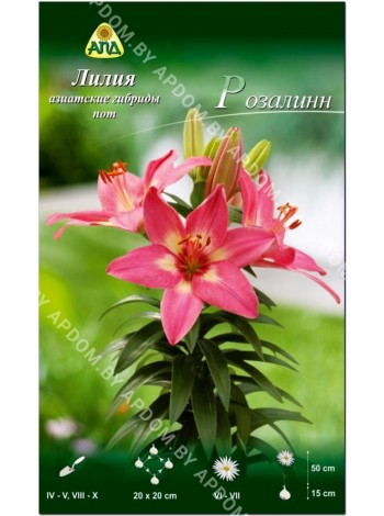 Лилия Розалинн (Lilium asiatic pot Rosalynn)