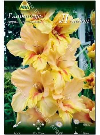 Гладиолус Лондон (Gladiolus London)