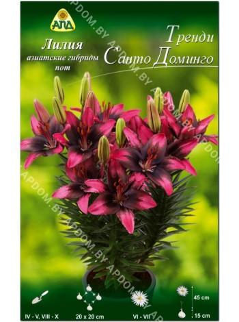 Лилия Тренди Санто Доминго (Lilium asiatic pot Trendy Santo Domingo)