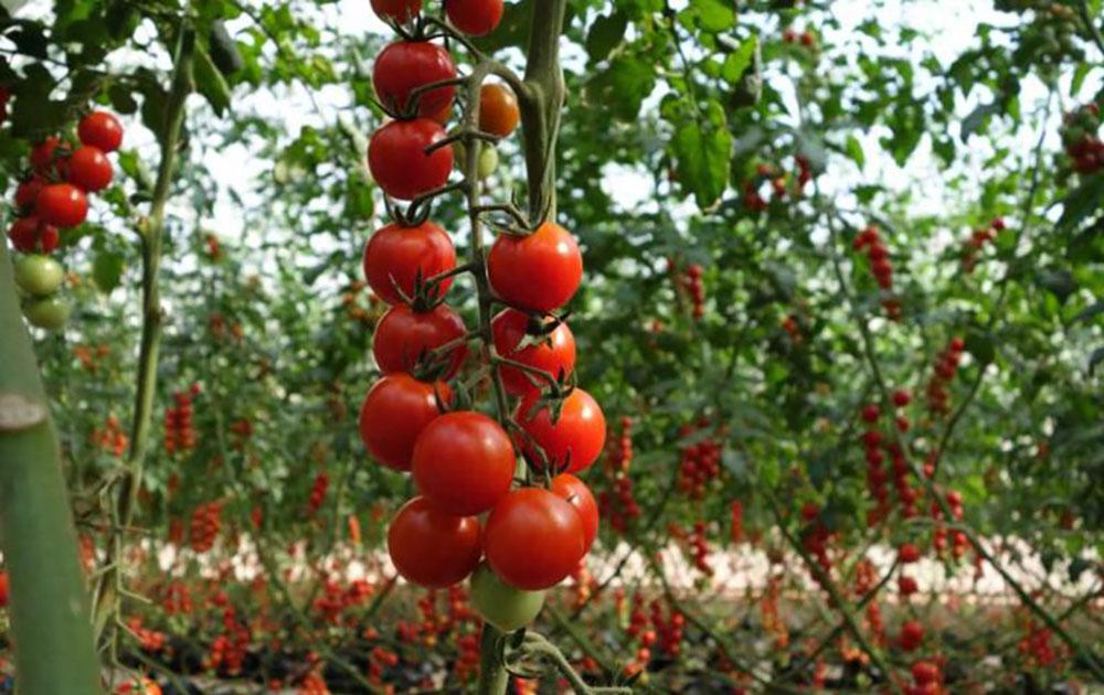 Выращивание томатов в открытом грунте.