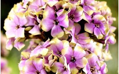Новинки луковичных цветов в весеннем каталоге 2018 года