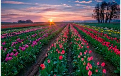 Экзотические новинки осени - редкие Тюльпаны
