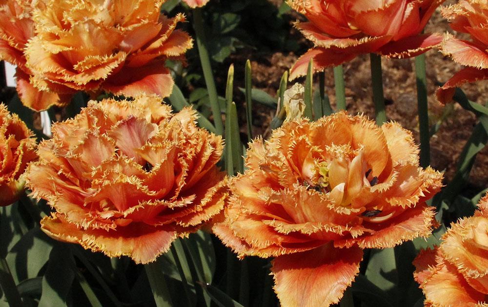 Тюльпаны! И махровые, и бахромчатые