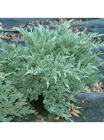Можжевельник средний Пфитцериана Глаука (Juniperus x pfitzeriana Pfitzeriana Glauca)