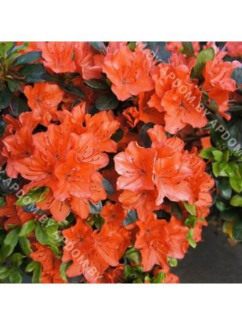 Азалия японская Гейша Оранж (Azalea japonica Geisha Orange)