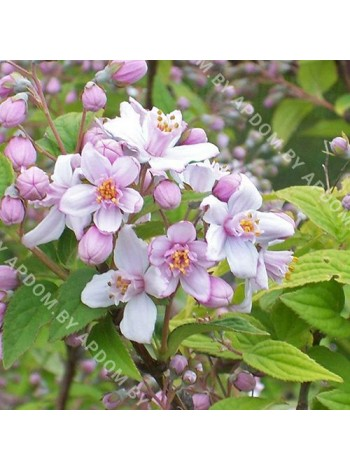 Дейция гибридная Монт Роуз (Deutzia xhybrida Mont Rose)