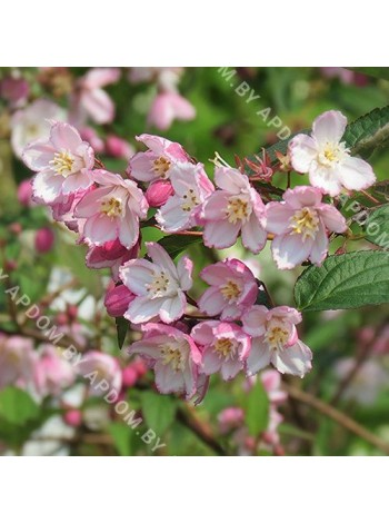 Дейция пурпурная Калмифлора (Deutzia purpurascens Kalmiiflora)