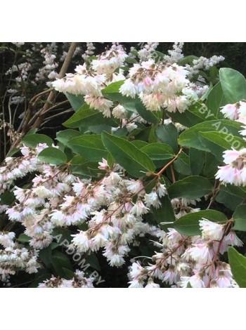 Дейция шершавая Плена (Deutzia scabraPlena)