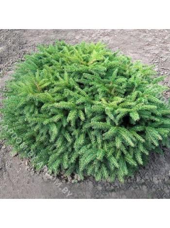 Ель обыкновенная Нидиформис (Picea abiesNidiformis)