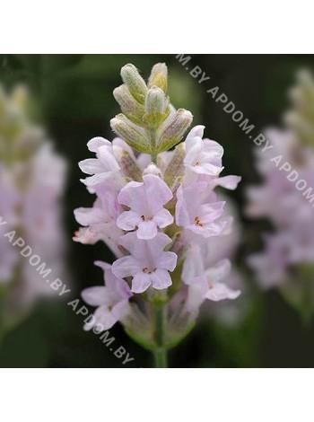 Лаванда Элеганс Пинк (Lavandula angustifolia Ellagance Pink)