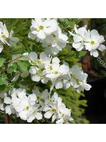 Экзохорда кистистая (Exochorda racemosa)
