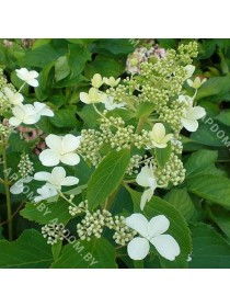 Гортензия метельчатая Левана (горшок С5 - 5 л.)