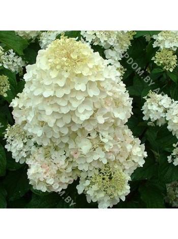 Гортензия метельчатая Сильвер Доллар (Hydrangea paniculataSilver Dollar)