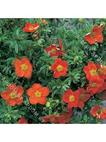 Лапчатка кустарниковая Ред Айс (Potentilla fruticosa Red Ace)