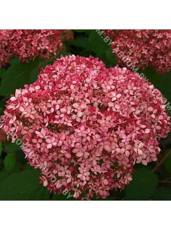 Гортензия древовидная Пинк Анабель (Hydrangea arborescens Pink Annabelle)