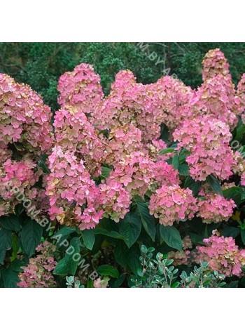 Гортензия метельчатая Пинк Даймонд (Hydrangea paniculata Pink Diamond)