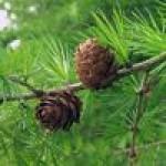 Саженцы лиственницы