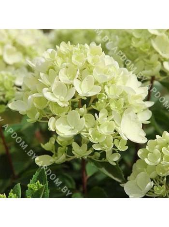 Гортензия метельчатая Бомбшелл (Hydrangea paniculata Bombshell)
