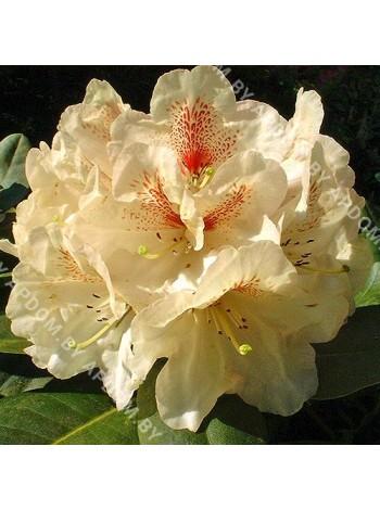 Рододендрон Голдбукет (Rhododendron Goldbukett)