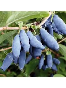 Жимолость камчатская Голубое Веретено (закрытый корень - почтовый)