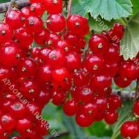 Красная смородина Фертоди (закрытый корень - почтовый)