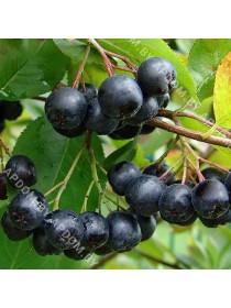 Арония черноплодная Амит (горшок Р9 - почтовый)