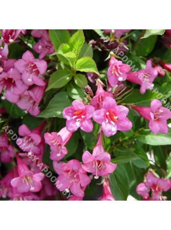 Вейгела Боскоп Глори (Weigela florida'Boskoop Glory')