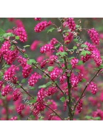 Смородина кроваво-красная Пулборауч Скарлет (Ribes sanguineum 'Pulborough Scarlet')