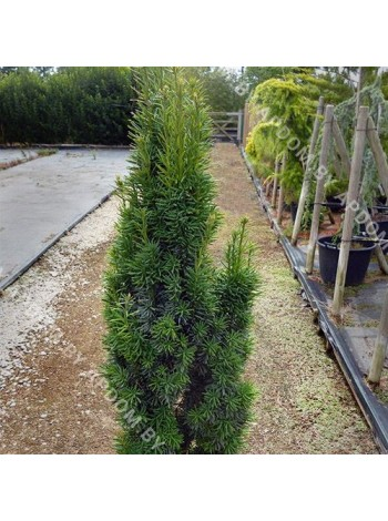 Тисс ягодный Фастигиата Робуста (Taxus baccata 'Fastigiata Robusta')