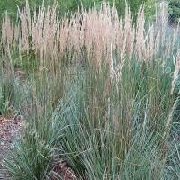 Вейник остроцветковый Овердам (горшок С2 - 2 л.)