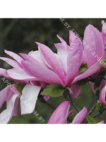 Магнолия Бетти (Magnolia Betty)