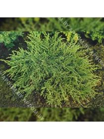 Можжевельник обыкновенный Репанда (горшок С3 - 3 л.)