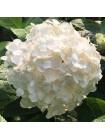 Гортензия Невеста (Hydrangea macrophylla Blushing Bride)