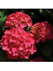 Гортензия Форевер энд Эвер Ред (Hydrangea macrophylla Forever and Ever Red)