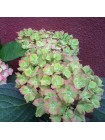 Гортензия Форевер энд Эвер Фантазия (Hydrangea macrophylla Forever and Ever Fantasia)