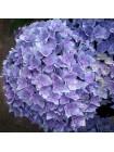 Гортензия Ю энд Ми Тугезе (Hydrangea macrophylla You & Me Together)