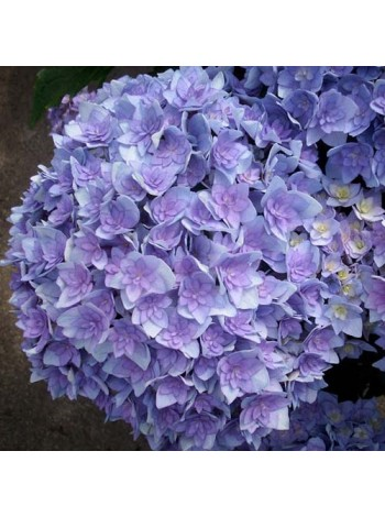 Гортензия Ю энд Ми Тугезе (Hydrangea macrophylla You & Me Together)