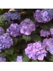 Гортензия Блю Хевен (Hydrangea macrophylla Blue Heaven)
