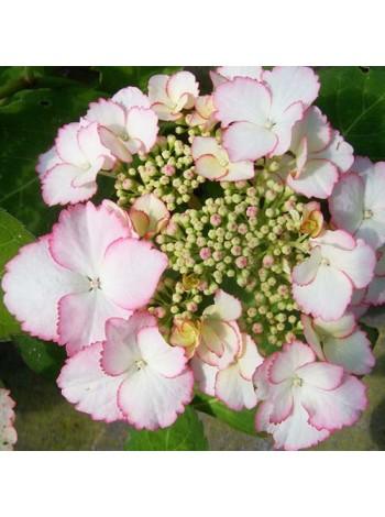 Гортензия Лав Ю Кисс (Hydrangea macrophylla Love You Kiss)