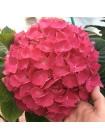 Гортензия Ред Барон (Hydrangea macrophylla Red Baron)