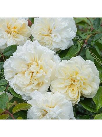 Роза Альберик Барбье (Rosa Alberic Barbier)