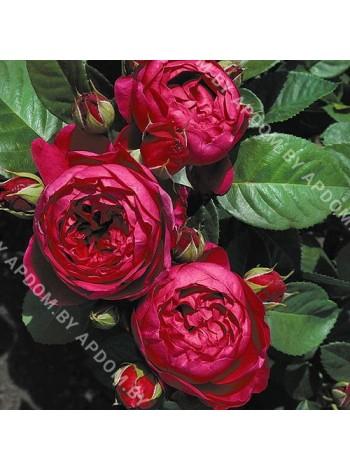Роза Аскот (Ascot)